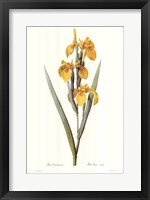 Framed Iris Pseudacorus