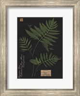 Framed Sensitive Fern