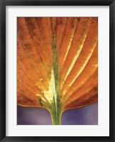 Wet Yellow Hosta Framed Print