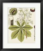 Framed Horse Chestnut