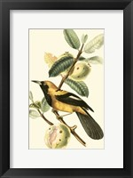 Framed Cuvier Exotic Birds II