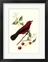 Framed Cuvier Exotic Birds V