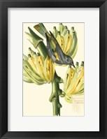 Framed Cuvier Exotic Birds VII