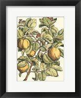Framed Quince Tree Branch