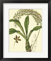 Framed Antique Orchid Study IV