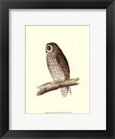 Framed Short Eared Owl