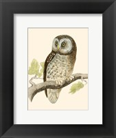 Framed Tengmalm's Owl