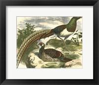 Framed Amherst Pheasant