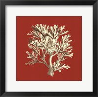 Framed Coral on Red IV