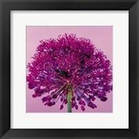 Framed Pink Allium