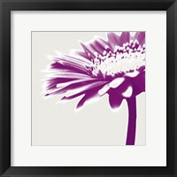 Framed Purple Gerbera