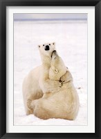 Framed Playful Polar Bears