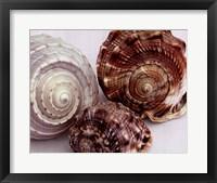 Spiral Shells Framed Print