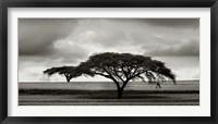 Framed Acacia Trees