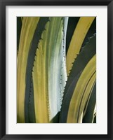 Framed Variegated Agave I