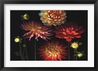 Dahlia Garden Framed Print