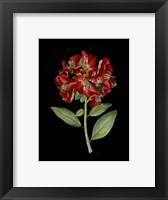 Framed Crimson Flowers on Black I