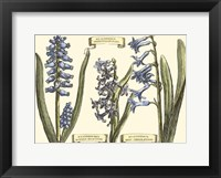 Framed Small Hyacinth in Bloom (P)
