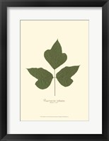 Framed Small Kudzu Vine (P)