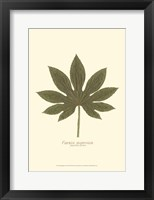 Framed Small Japanese Fatsia (P)