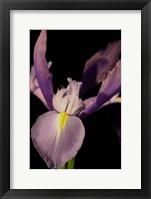 Framed Small Sweet Iris I (U)