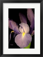 Framed Small Sweet Iris II (U)