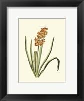 Framed Antique Hyacinth VIII