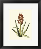 Framed Antique Hyacinth XVI