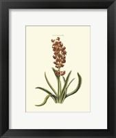 Framed Antique Hyacinth VII
