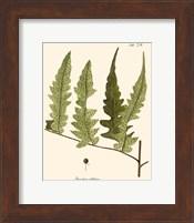 Framed Small Antique Fern VII