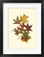 Framed Sm Tulip Tree,Sw Gum&Scarlet Oak
