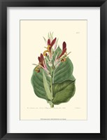 Framed Antique Canna II