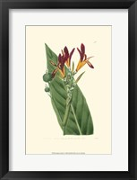 Framed Antique Canna IV