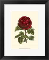 Framed Magnificent Rose III
