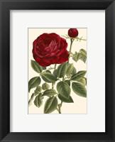Framed Magnificent Rose IV