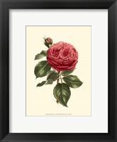 Framed Magnificent Rose V