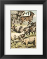 Framed Johnson's Sheep