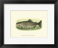 Framed River Trout I