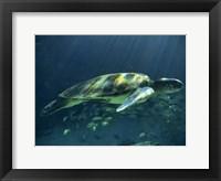 Framed Aegean Sea Turtles I
