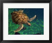 Framed Aegean Sea Turtles III