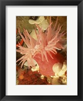Framed Graphic Sea Anemone I