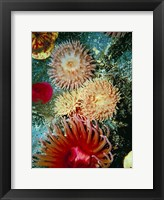 Framed Graphic Sea Anemone III