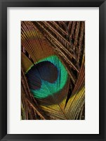 Framed Peacock Feathers II