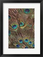 Framed Peacock Feathers III