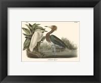 Framed Reddish Egret