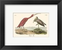 Framed Scarlet Ibis