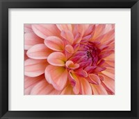 Framed Graphic Dahlia II