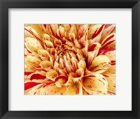 Framed Graphic Dahlia III