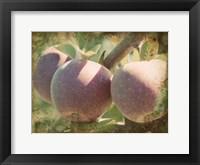 Framed Vintage Apples I