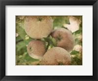 Framed Vintage Apples IV